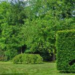 Ako sa starať o živý plot? Spôsoby rastu a základné pravidlá starostlivosti